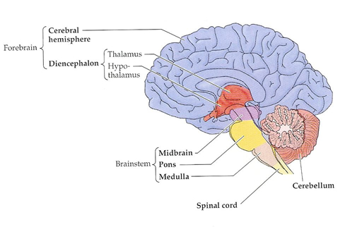 parts of the brain image