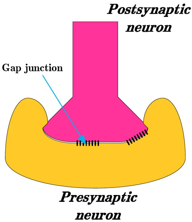 Process of Electrical Synaptic Transmission