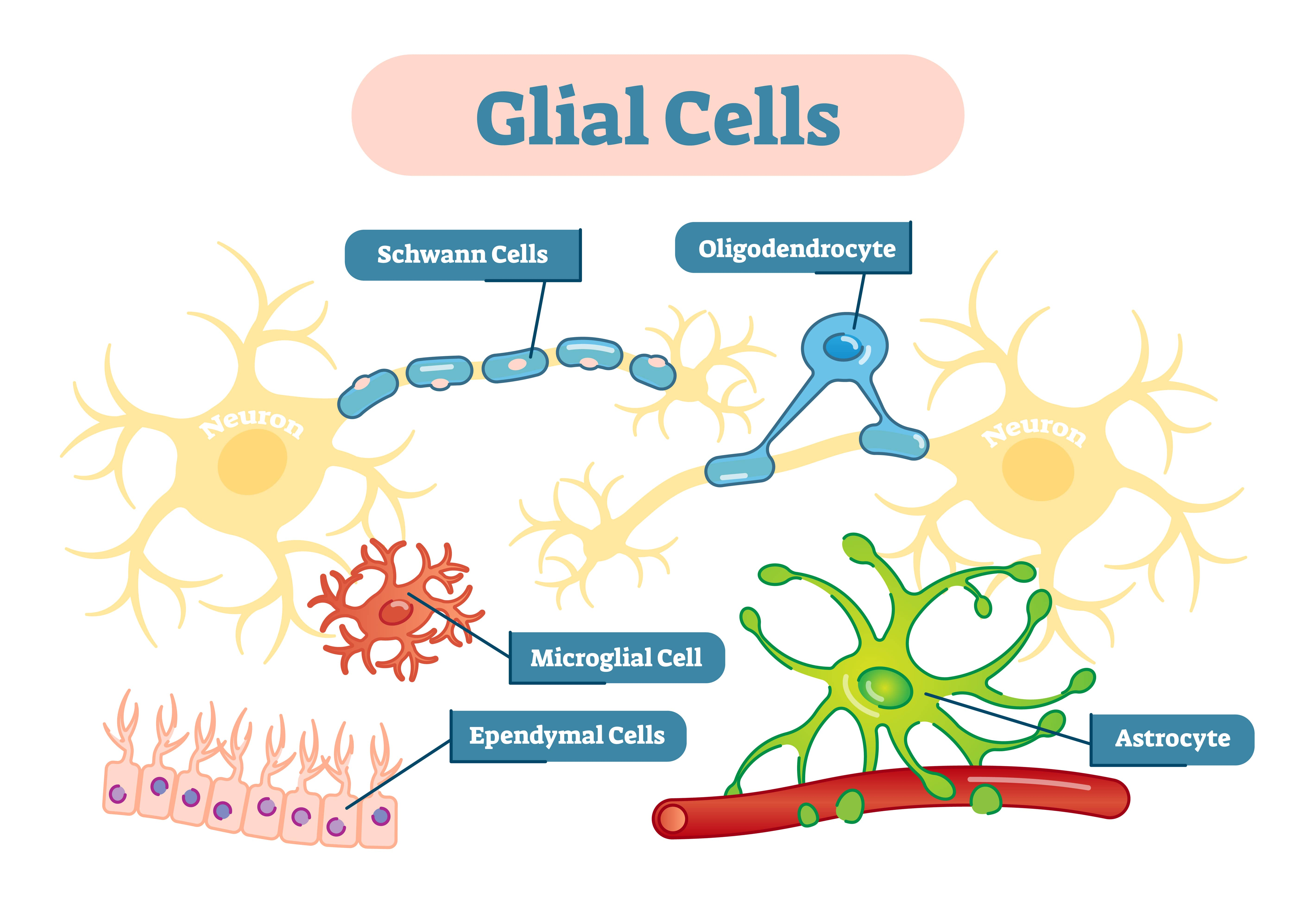 glia cells in the CNS: astrocytes, microglial, and oligodendrocytes.
