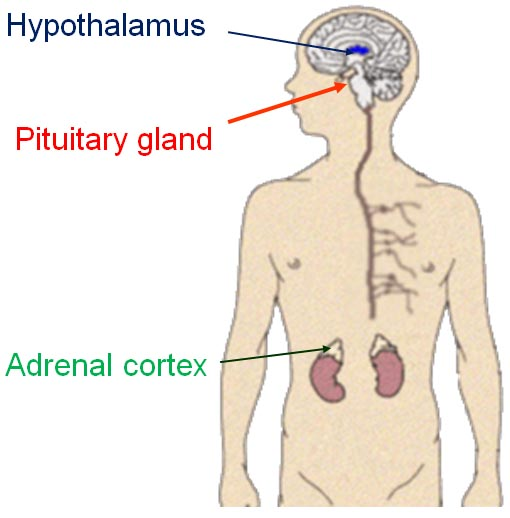 The Pituitary-Adrenal System