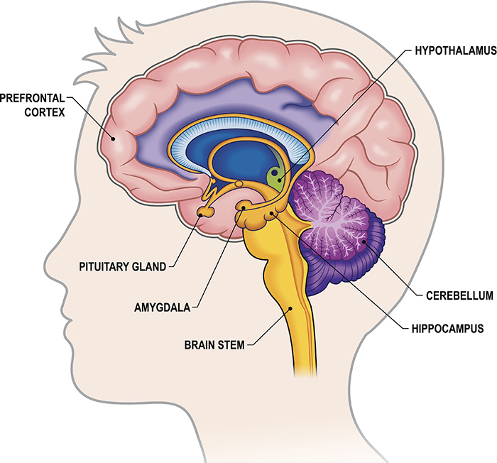 parts of the limbic system