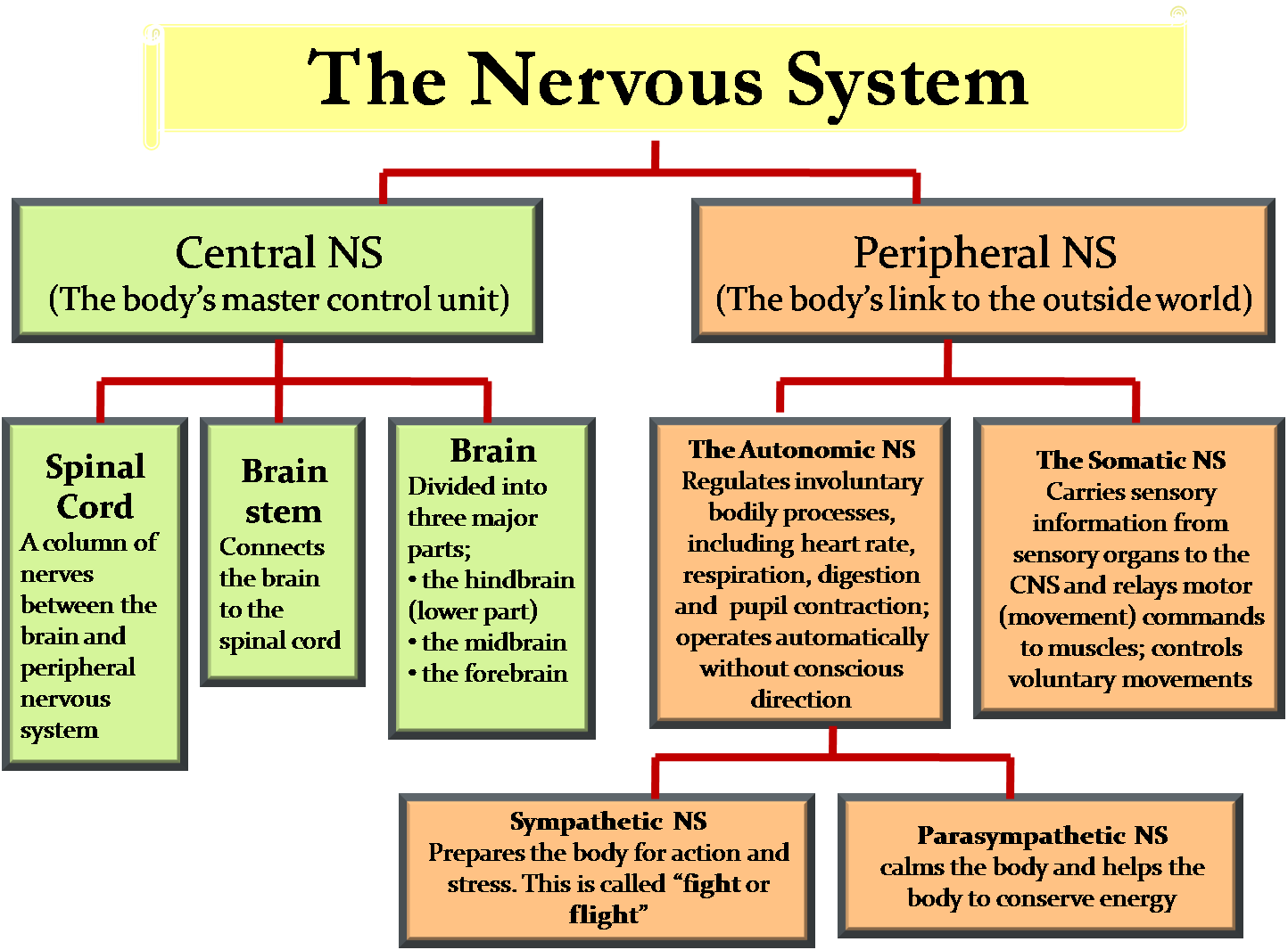 the central nervous system The nervous system is an organ system containing a network of specialized cells called neurons that coordinate the actions of an animal and transmit signals between different parts of its body.