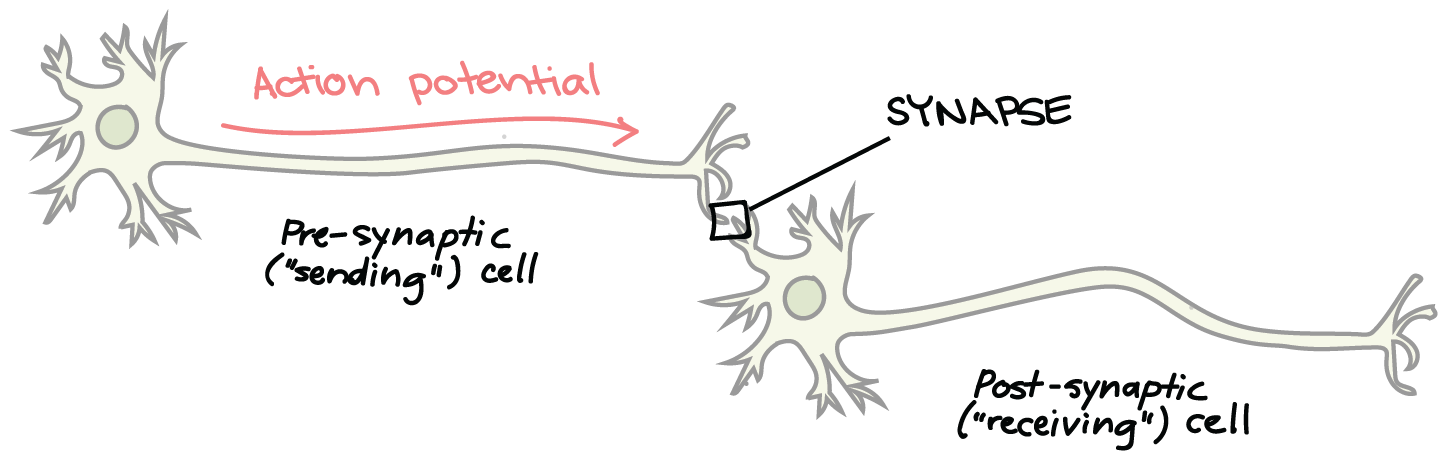 At a synapse the presynaptic (sending) neuron causes the transmission of a signal to the postsynaptic (receiving) neuron